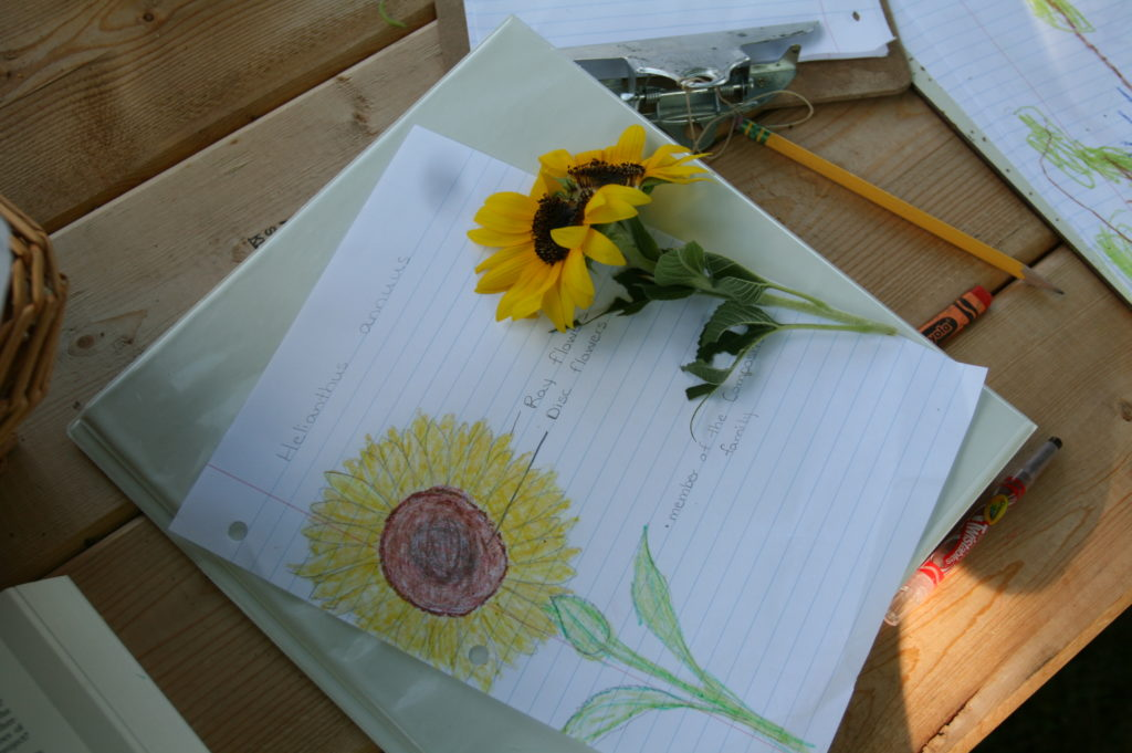 school, sunflower, nature, charlotte mason, science, drawing